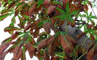 Болезни каштана: ржавчина, мучнистая роса, минирующая моль