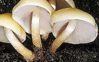 Серопластинчатый опенок (ложноопенок серопластинчатый, маковый, Hypholoma capnoides): как выглядит гриб, где и как растет, съедобный или нет