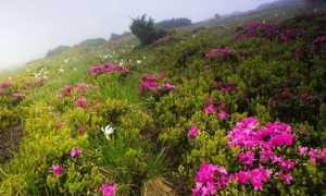 Рододендроны: посадка и уход в открытом грунте весной, лечебные свойства, применение