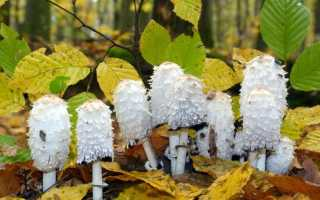 Навозник волосистоногий (пушистый или мохноногий): фото и описание гриба