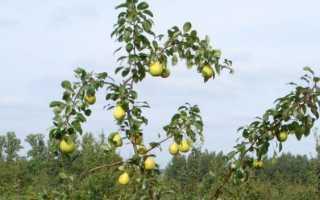 Размножение груши черенками, семенами, отводками: как вырастить саженцы