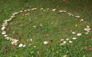 Белосвинуха горечавковая: где растет, как выглядит, можно ли есть