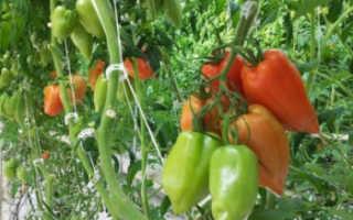 Томат Корнабель F1 (Дульче): описание сорта, фото, отзывы, урожайность