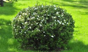 Как размножать курильский чай (лапчатку кустарниковую): осенью, весной, как черенковать, видео