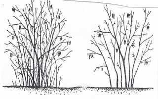 Обрезка фундука осенью: схема, видео для начинающих