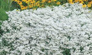 Анафалис жемчужный: посадка и уход, описание цветов, фото в ландшафтном дизайне