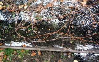 Как укрыть виноград на зиму на Урале
