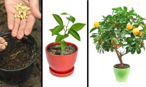 Вишня из косточки: как вырастить, когда сеять, сколько растет, будет ли плодоносить дерево