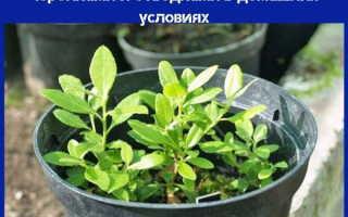 Как размножить рододендрон в домашних условиях: черенками, семенами