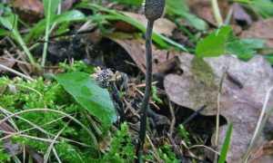 Кордицепс серо-пепельный: как выглядит, где растет, съедобность, как отличить, фото