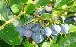 Голубика Блюджей: описание сорта, отзывы, посадка и уход, выращивание