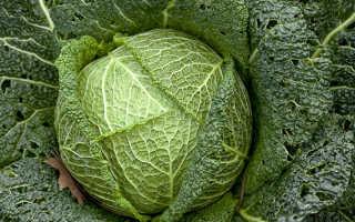 Савойская капуста: польза и вред, состав, противопоказания, рецепты приготовления