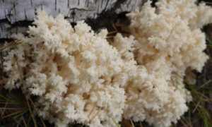Ежовик коралловидный (коралловый, Гериций коралловидный, Hericium coralloides): как выглядит, где и как растет, съедобный или
