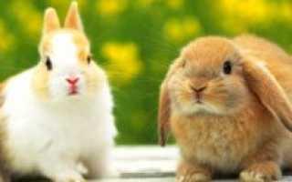 Болезнь кроликов: миксоматоз