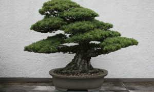 Японская сосна: посадка и уход, как выращивать из семян в домашних условиях