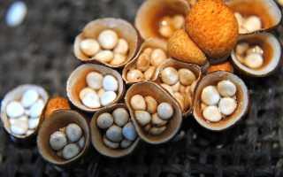 Бокальчик: фото и описание гриба, съедобный или нет