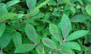 Жимолость засохла: причины, что делать, почему чернеют листья, способы борьбы