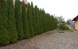 Туя Смарагд (Smaragd): на каком расстоянии сажать, живая изгородь, фото в ландшафтном дизайне, выращивание, как