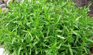 Трава Эстрагон (Тархун): свойства и применение, калорийность, состав, фото, польза для мужчин, для женщин, при
