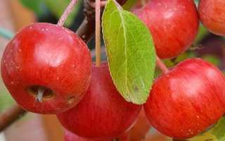Домашнее вино из яблок