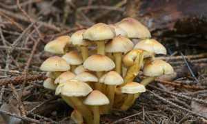 Ложноопенок серно-желтый (ложный серно-желтый опенок, Hypholoma fasciculare): как выглядят грибы, где и как растут, съедобны или нет