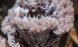 Телефора кисточковая (Thelephora penicillata): как выглядят грибы, где и как растут, съедобны или нет