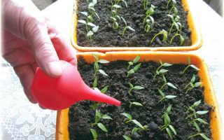 Как поливать рассаду перцев