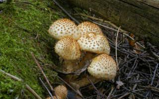 Чешуйчатка обыкновенная (ворсистая, Pholiotasquarrosa): фото и описание, как приготовить