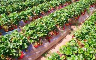 Ремонтантная клубника: выращивание и уход, обрезка + видео