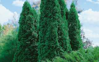 Туя Колумна (Columna): западная, колоновидная, живая изгородь, применение в ландшафтном дизайне