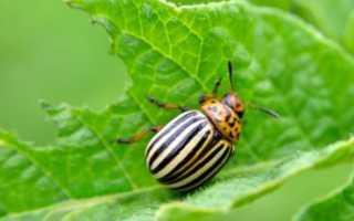 Колорадский жук: описание и история появления, способы борьбы