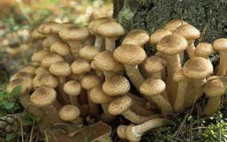 Опята в Тульской области (Туле) в 2020 году: грибные места, фото, где растут, где собирать