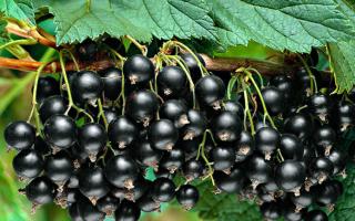 Сода для смородины: против тли, для обильного урожая