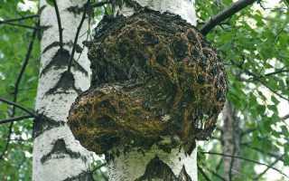 Трутовик и чага: отличия, особенности грибов, способы применения, фото