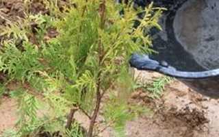 Посадка и уход за туей осенью: технология, пошаговое описание, фото, когда сажать, как посадить, как