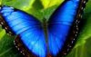 Мальва: посадка, выращивание и уход, популярные виды