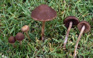 Сенный навозник: фото и описание гриба, можно ли есть