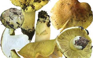 Рядовка зеленая (зеленушка): фото и описание гриба, как готовить
