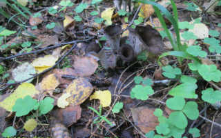 Вороночник: фото и описание гриба, съедобный или нет
