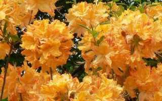 Рододендрон (азалия) Голден Лайтс (Golden Lights): описание, фото, отзывы, посадка и уход