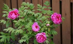 Посадка пионов весной: когда и как сажать, купленные, с ростками, корневищами, из коробки