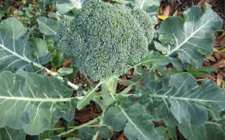 Капуста брокколи: выращивание, посадка и уход в открытом грунте
