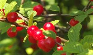 Вишня Восторг: описание сорта, фото, отзывы, опылители, посадка и уход, выращивание