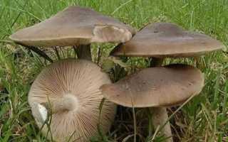 Плютей олений (Олений гриб, Pluteu scervinus): как выглядит, где и как растет, съедобный или нет, как готовить