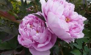 Чем подкормить пионы весной для пышного цветения: сроки, правила, секреты