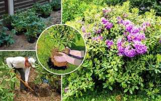 Чем подкормить рододендроны весной и осенью для пышного цветения