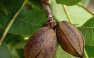 Пекан обыкновенный: описание, выращивание в Подмосковье, фото