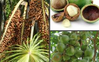 Орех макадамия: полезные свойства, применение, противопоказания, отзывы