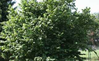 Лещина маньчжурская: описание, посадка и уход, фото