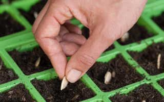 Кабачки: выращивание рассады из семян, посадка в открытый грунт